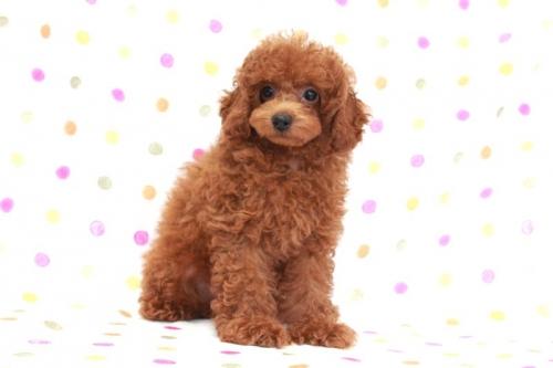 トイプードルの子犬(ID:1236011169)の2枚目の写真/更新日:2017-10-22