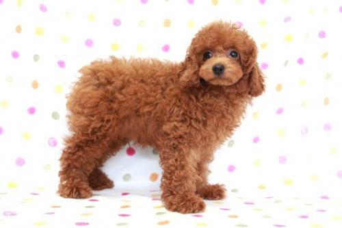 トイプードルの子犬(ID:1236011169)の3枚目の写真/更新日:2017-09-18