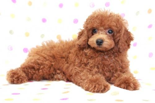 トイプードルの子犬(ID:1236011169)の4枚目の写真/更新日:2017-09-18