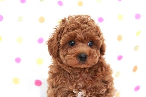 トイプードルの子犬(ID:1236011170)の1枚目の写真/更新日:2017-09-18