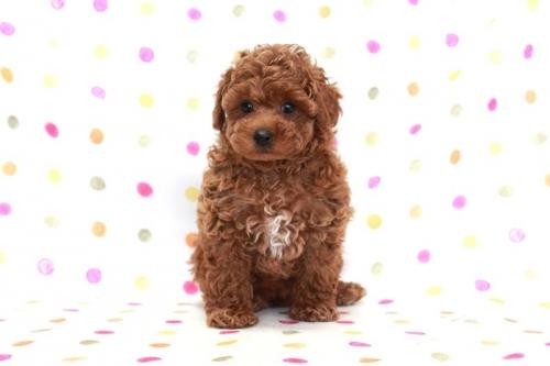 トイプードルの子犬(ID:1236011170)の2枚目の写真/更新日:2017-09-18