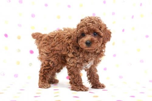 トイプードルの子犬(ID:1236011170)の3枚目の写真/更新日:2017-09-18