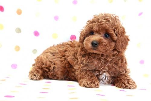 トイプードルの子犬(ID:1236011170)の4枚目の写真/更新日:2017-09-18