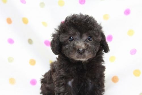 トイプードルの子犬(ID:1236011171)の2枚目の写真/更新日:2017-09-24