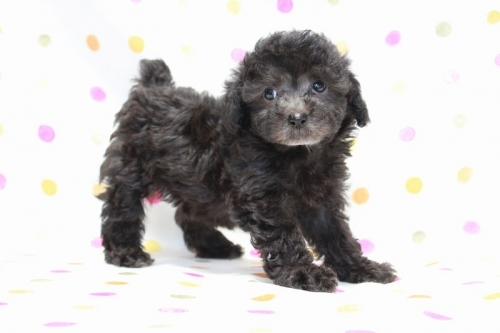 トイプードルの子犬(ID:1236011171)の3枚目の写真/更新日:2017-09-24