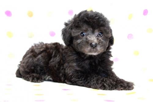 トイプードルの子犬(ID:1236011171)の4枚目の写真/更新日:2017-09-24