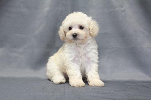 トイプードルの子犬(ID:1236011172)の1枚目の写真/更新日:2017-09-24