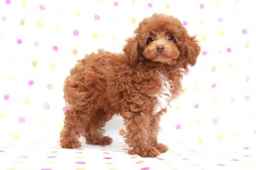 トイプードルの子犬(ID:1236011173)の1枚目の写真/更新日:2017-09-24