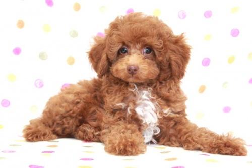 トイプードルの子犬(ID:1236011173)の3枚目の写真/更新日:2017-09-24