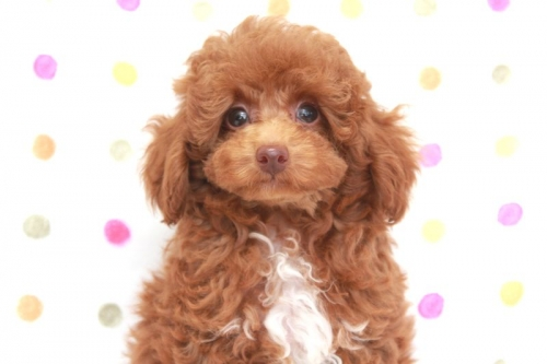 トイプードルの子犬(ID:1236011173)の4枚目の写真/更新日:2017-10-22