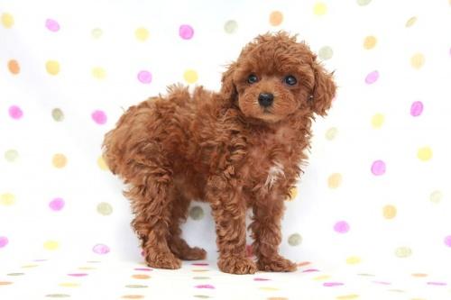 トイプードルの子犬(ID:1236011174)の1枚目の写真/更新日:2017-09-24