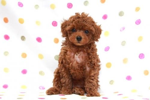 トイプードルの子犬(ID:1236011174)の2枚目の写真/更新日:2017-09-24