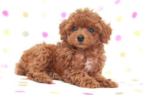 トイプードルの子犬(ID:1236011174)の3枚目の写真/更新日:2017-09-24