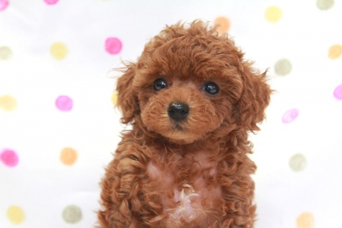 トイプードルの子犬(ID:1236011174)の4枚目の写真/更新日:2017-09-24