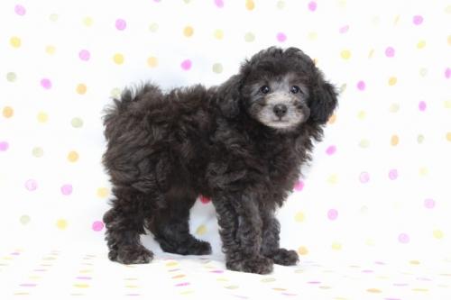 トイプードルの子犬(ID:1236011175)の2枚目の写真/更新日:2017-10-22