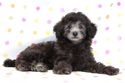トイプードルの子犬(ID:1236011175)の3枚目の写真/更新日:2017-10-22