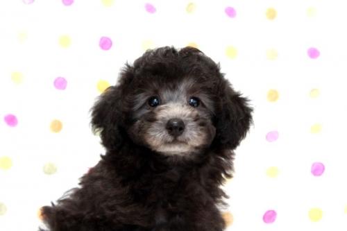 トイプードルの子犬(ID:1236011175)の4枚目の写真/更新日:2017-10-22