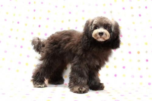 トイプードルの子犬(ID:1236011176)の1枚目の写真/更新日:2017-10-22