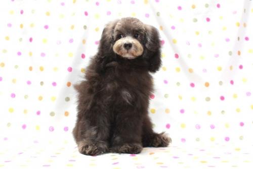 トイプードルの子犬(ID:1236011176)の2枚目の写真/更新日:2017-10-22