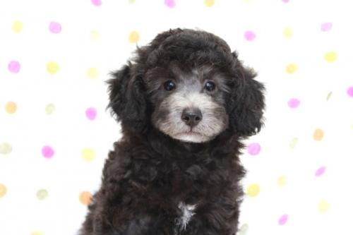 トイプードルの子犬(ID:1236011176)の4枚目の写真/更新日:2017-10-22