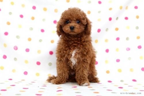 トイプードルの子犬(ID:1236011177)の2枚目の写真/更新日:2017-12-21
