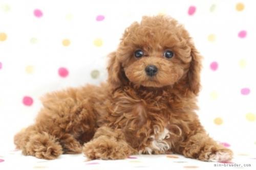 トイプードルの子犬(ID:1236011177)の4枚目の写真/更新日:2017-12-21