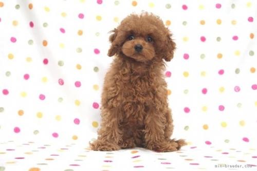 トイプードルの子犬(ID:1236011178)の2枚目の写真/更新日:2017-12-04