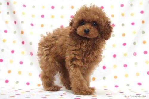 トイプードルの子犬(ID:1236011178)の3枚目の写真/更新日:2017-12-04