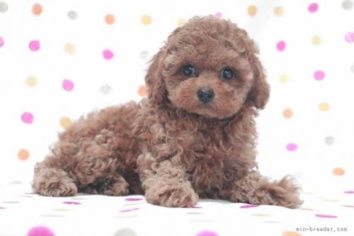 トイプードルの子犬(ID:1236011178)の4枚目の写真/更新日:2019-06-03