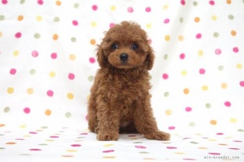 トイプードルの子犬(ID:1236011180)の2枚目の写真/更新日:2019-06-03