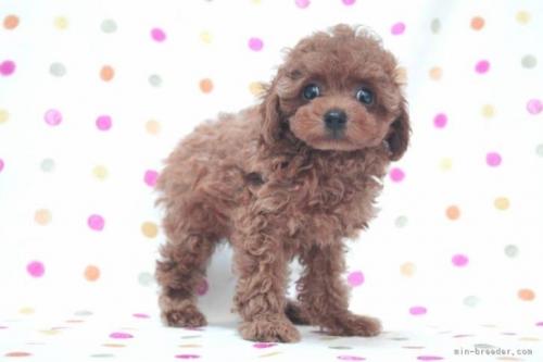 トイプードルの子犬(ID:1236011180)の3枚目の写真/更新日:2019-06-03