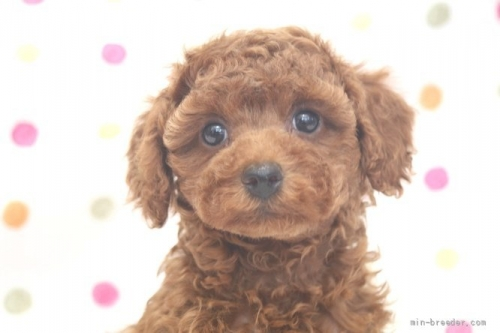 トイプードルの子犬(ID:1236011181)の1枚目の写真/更新日:2017-12-04