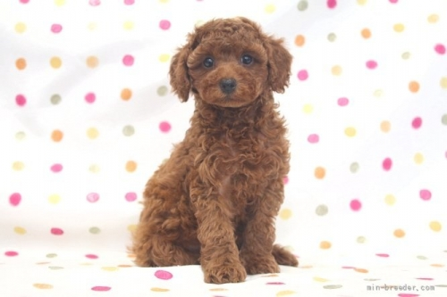 トイプードルの子犬(ID:1236011181)の2枚目の写真/更新日:2017-12-04