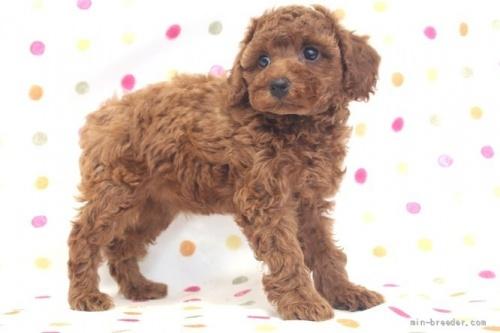 トイプードルの子犬(ID:1236011181)の3枚目の写真/更新日:2017-12-04