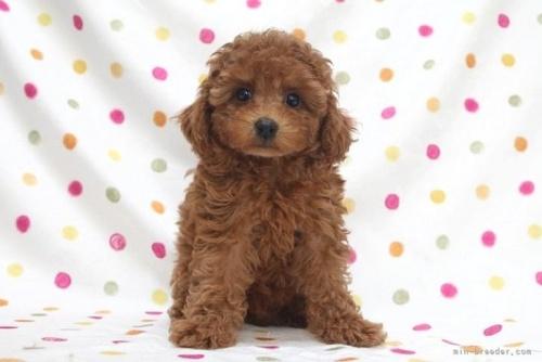 トイプードルの子犬(ID:1236011183)の2枚目の写真/更新日:2019-06-03