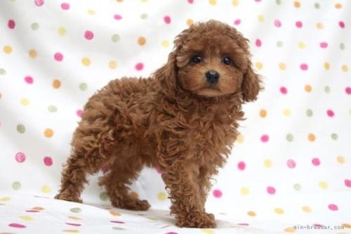 トイプードルの子犬(ID:1236011183)の3枚目の写真/更新日:2019-06-03