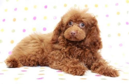 トイプードルの子犬(ID:1236011184)の1枚目の写真/更新日:2019-06-03