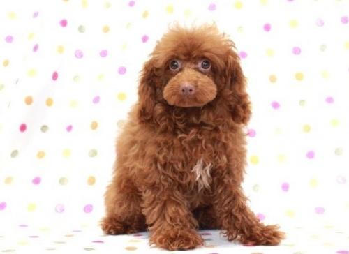 トイプードルの子犬(ID:1236011184)の2枚目の写真/更新日:2019-06-03