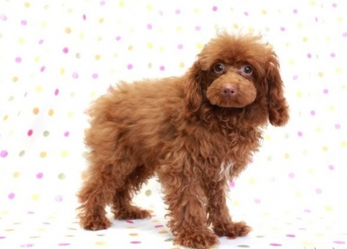 トイプードルの子犬(ID:1236011184)の3枚目の写真/更新日:2019-06-03