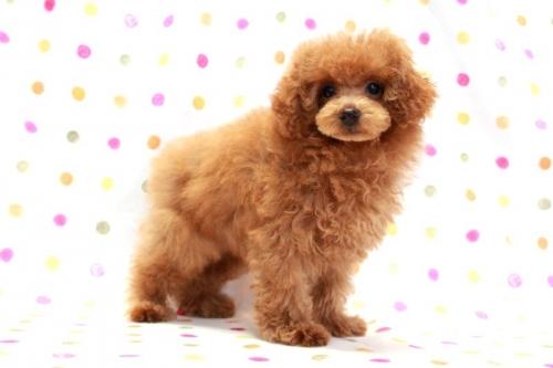 トイプードルの子犬(ID:1236011185)の1枚目の写真/更新日:2018-01-20