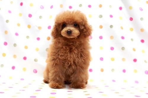 トイプードルの子犬(ID:1236011185)の2枚目の写真/更新日:2018-01-20