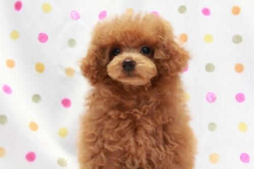 トイプードルの子犬(ID:1236011185)の4枚目の写真/更新日:2018-01-20