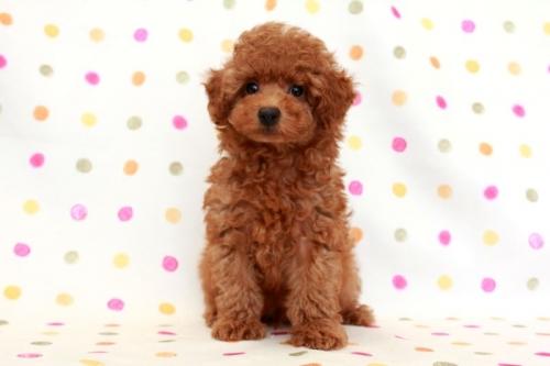 トイプードルの子犬(ID:1236011186)の1枚目の写真/更新日:2017-12-20