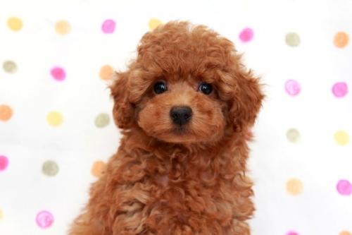トイプードルの子犬(ID:1236011186)の4枚目の写真/更新日:2017-12-20