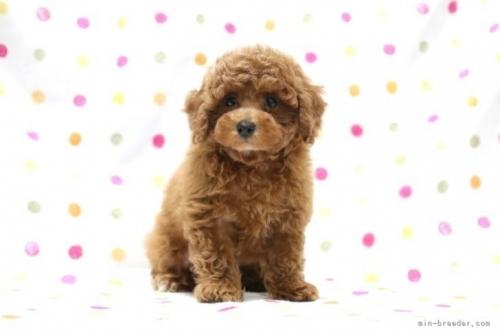 トイプードルの子犬(ID:1236011187)の2枚目の写真/更新日:2019-09-10