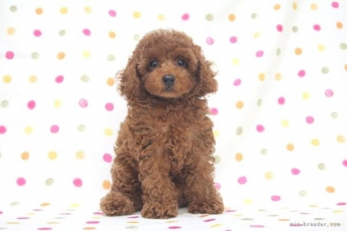 トイプードルの子犬(ID:1236011188)の2枚目の写真/更新日:2019-09-10