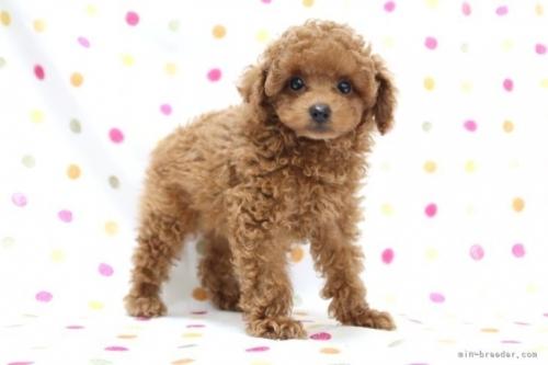 トイプードルの子犬(ID:1236011188)の3枚目の写真/更新日:2019-09-10