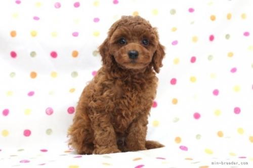 トイプードルの子犬(ID:1236011189)の2枚目の写真/更新日:2019-09-10
