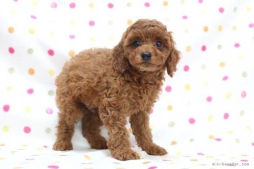 トイプードルの子犬(ID:1236011189)の3枚目の写真/更新日:2019-09-10
