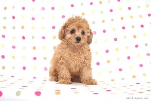 トイプードルの子犬(ID:1236011190)の2枚目の写真/更新日:2018-03-22